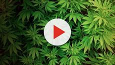 Los estadounidenses cree que los atletas deben usar marihuana para el dolor