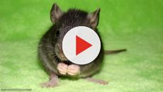 Video: Lucha por contener fiebre mortal transmitida por ratas en Nigeria