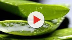 VIDEO: beneficios del Aloe vera