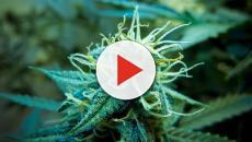 La marihuana es una fuente de dinero para Colorado
