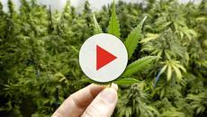 Hombre de 46 años creció marihuana en un invernadero mientras estaba en su casa