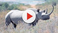 È morto Sudan, l'ultimo rinoceronte bianco del nord