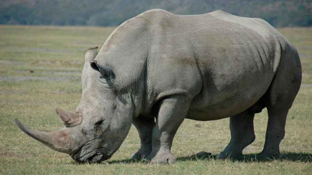 Sudán, el último rinoceronte macho blanco del norte, ha muerto