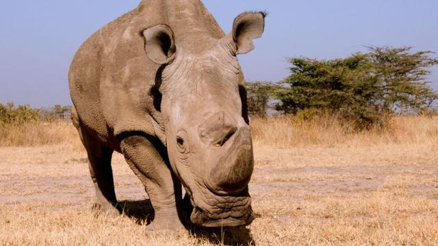 Anatomía sobre los rinocerontes