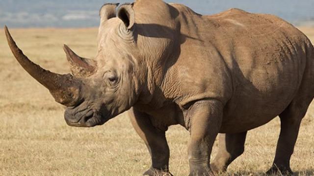 Estado actual sobre los rinocerontes