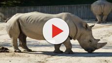 Kenya, morto l'ultimo esemplare di rinoceronte bianco maschio