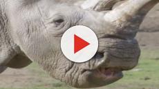 E' morto Sudan: l'ultimo esemplare di rinoceronte bianco