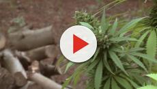 La marihuana ahora es una buena propuesta de negocios