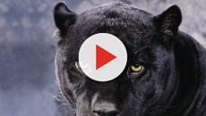 Panteras en peligro de extinción de la Florida avistadas cerca de los Everglades