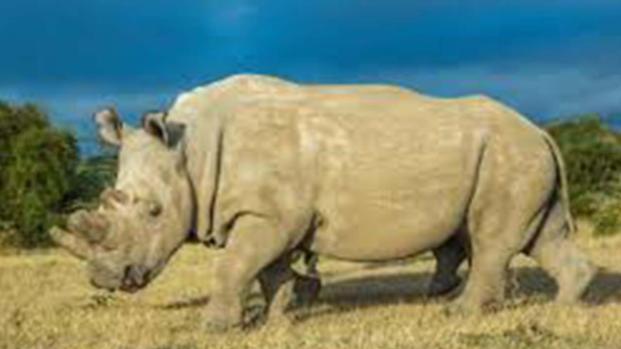 Il Rinoceronte bianco non è estinto: ecco la verità dopo le notizie errate