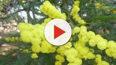La flor de la mimosa enamora y aterra