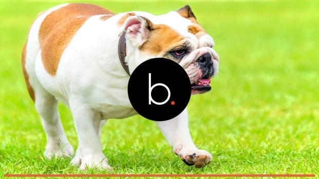 Conheça as raças de cachorros mais caras, veja no vídeo