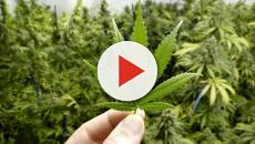 Entenda sobre a legalização, consumo e consequências da maconha