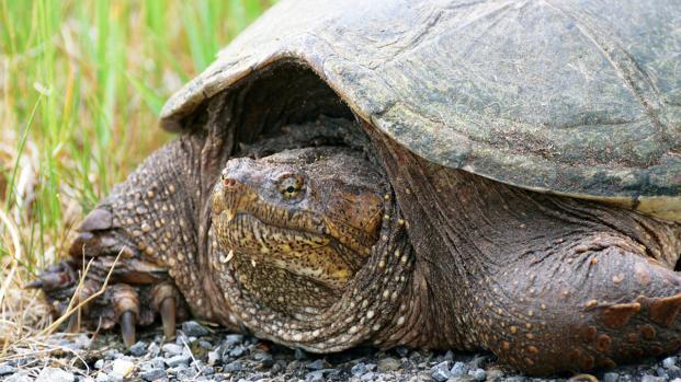 Trovate in Italia due tartarughe 'azzannatrici'