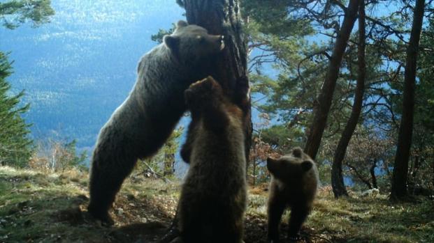 Los osos del Pirineo despiertan de la hibernación