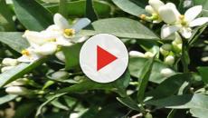 La Zagara in fiore e i suoi numerosi usi