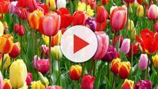 Cornaredo, continua il successo di 'Tulipani italiani'