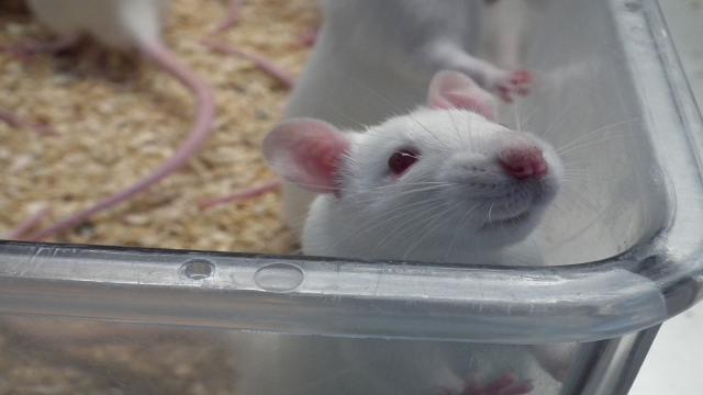 Esta rata con bolsa puede detectar