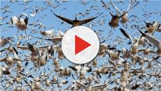 Decenas de gansos muertos caen del cielo en EE.UU