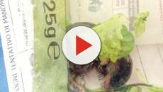 Genova, topo nella busta dell'insalata: allerta alimentare