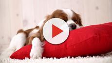 Quais as vantagens e desvantagens de dormir com o animal de estimação?