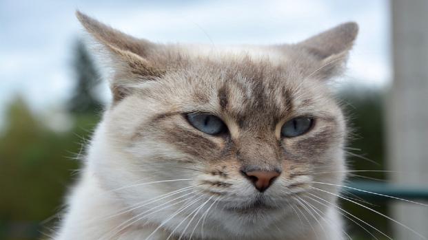 Video, Un gatto torna dai padroni percorrendo 19 Km, ma loro non lo vogliono