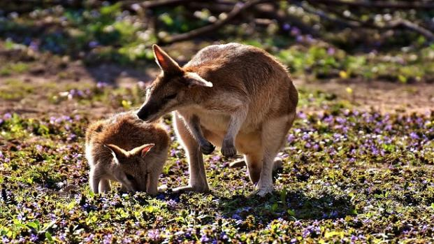 Matan a pedradas a un canguro para que salte