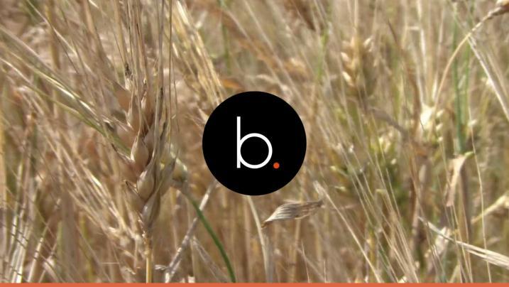 Pasta 'Barilla': non più grano canadese, la doppia vittoria degli italiani