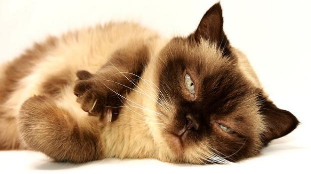 Diversas teorías expican el ronroneo del gato