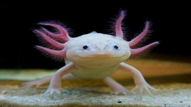 La salamandra in via di estinzione può aiutarci