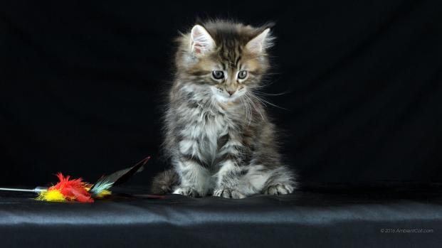 Un gato camina 19 kms para encontrarse con su familia y lo rechazan