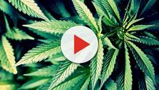 Marijuana: In Svizzera si compra al supermercato