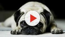 VÍDEO: Síndrome respiratorio del braquicéfalo