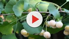 Ginkgo biloba: Se usa en cosmética por su poder antioxidante