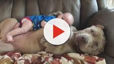 VIDEO: ¡Los perros Pitbull, una raza noble!
