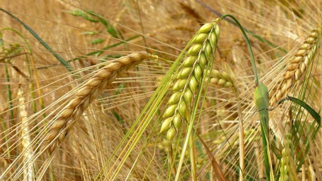 ¿Cuáles son los beneficios del agua de cebada?