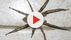 Ecco il ragno violino, il suo veleno può essere letale