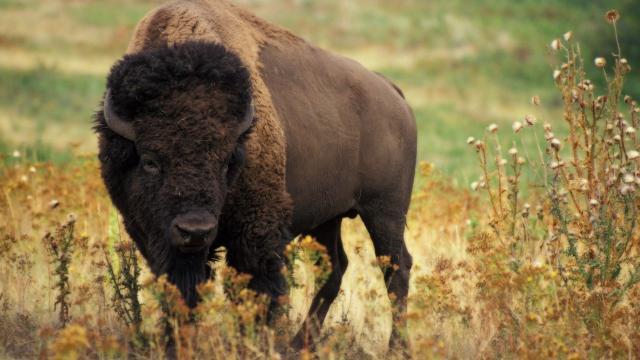 Yellowstone: cientos de bisontes muertos y miedo a una mega erupción