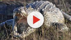 Londra: 50 coccodrilli sequestrati all'aeroporto di Heathrow