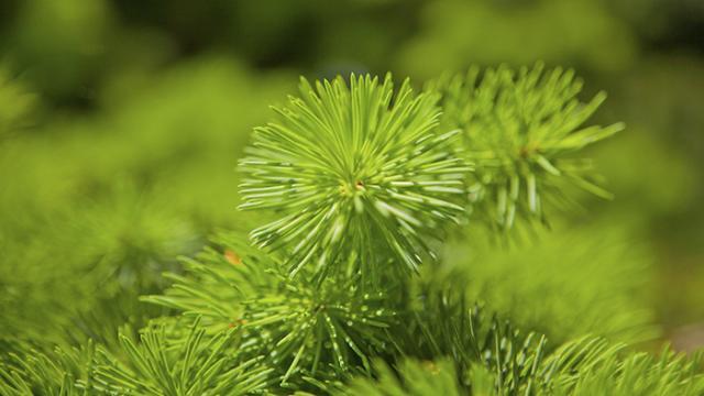 VIDEO - Salute, processionaria del pino: ecco cosa può causare