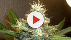 ¿El cannabis es realmente peligroso? Debates durante el 'Día de la hierba'