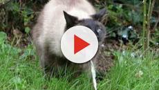 VÍDEO: Gastritis felina por Physaloptera