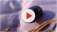 Uno scarafaggio nell'orecchio per 9 giorni: l'incubo di una 29enne