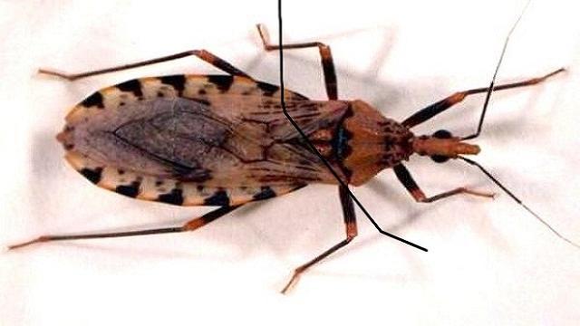 VÍDEO: La enfermedad de Chagas, una zoonosis endémica