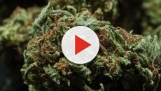 Cannabis terapéutico contra la epilepsia severa en niños con síndrome de Dravet