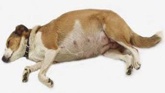 VÍDEO: La piometra en perras: síntomas, diagnóstico y tratamiento