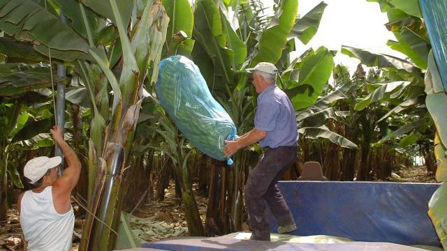 En la isla de Guadalupe, ir verde significa ir a los plátanos