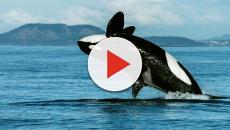 El poder del 'ADN ambiental' para monitorear las ballenas