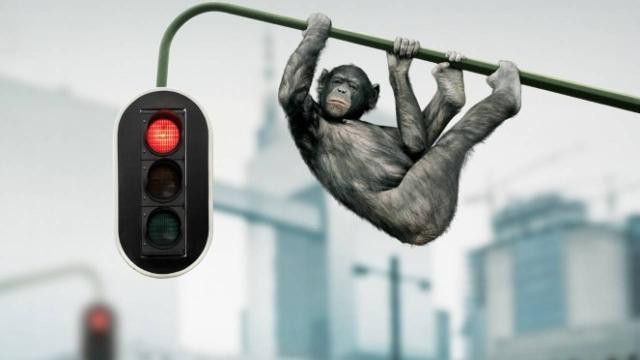Chimpancés sufren estrés por calor intenso