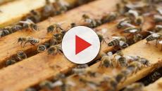 La giornata mondiale delle api, via al primo «World Bee Day»